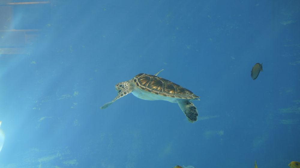小笠原のウミガメ